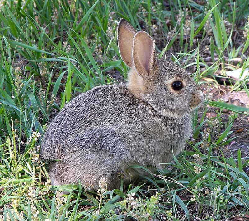 https://hi.wikipedia.org/wiki/%E0%A4%96%E0%A4%B0%E0%A4%97%E0%A5%8B%E0%A4%B6#/media/File:Rabbit_in_montana.jpg