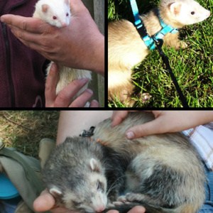 https://es.wikipedia.org/wiki/Mustela_putorius_furo#/media/File:Furets_albinos_champagne_et_zibeline_sable.jpg
