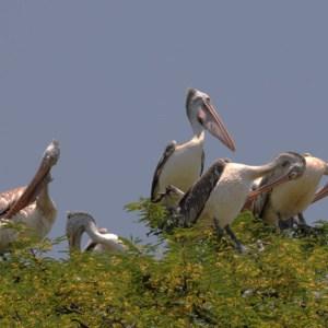 कोकरे बेलूर, कर्नाटक